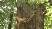 chat : Adult Lynx hunting jumping on the tree trying to catch squirrel in green forest Vidéos Libres De Droits