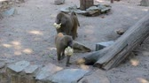 macaco : Two monkey prepearing to eat holding food cauliflower Vídeos