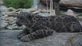 chat : Snow leopard Panthera uncia relaxing on the huge stone