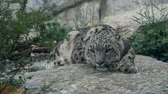 chat : Snow leopard Panthera uncia relaxing on the stone