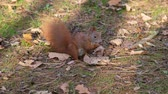 грызун : Beautiful Close up Shot in the Forest. Red Squirrel Eats a Nut autumn time Стоковые видеозаписи