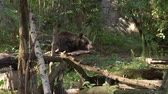 ursus : very old lovely Bear walking in the zoo