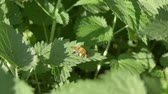 пчела : Close up view of honeybee busy in flower in spring field green urtica nettle Стоковые видеозаписи