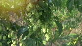 hop garden : Scenic sunset with sunflare and rays of green hop humulus in slow motion Stock Footage