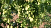 hop garden : Close up green hop humulus in slow motion Stock Footage