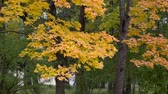 fallendes blatt : Beautiful autumn tree with orange yellow and green colors in cloudy day in the park