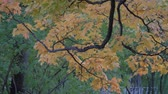 acero : Beautiful autumn colors red, green, yeallow , orange leaves trees branch moving slow