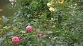 czerwona róża : Wild roses different colors with juicy green leaves close up view slow motion moving