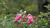 czerwona róża : Wild roses different colors with juicy green leaves and fly close up view slow motion moving