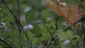 毒性 : Closeup white toxic berries symphoricarpos,waxberry ghostberry with yellow or orange leave 動画素材