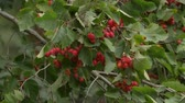 malus : Wild red crab apple with green leaves