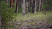 barbaric : Kangaroos on alert in a forest in Australia
