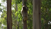 barbaric : Koala climbing to a tree in the forest in Australia in the summer Stock Footage
