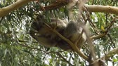 sentido : Koala sense of balance, sleeping on a very thin branch