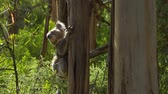 млекопитающие : Koala chilling in a tree in Victoria, Australia