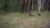 barbaric : Mother and babies kangaroos eating in the forest in Australia