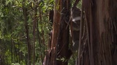 ladrão : Young koala climbing to a tree in Sharps camping area in Australia