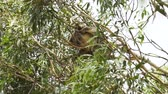 fruta tropical : Koala dangerously hanging on a tree when there is wind
