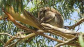 postoj : Koala peacefully sleeping in a sat position in a tree