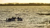 watercraft : Pelican Pelecanus conspicillatus swimming at sunset on a lake in Australia