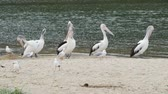 pelicans : Group of Australian pelicans and seagulls on the beach by the water in Australia
