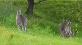 saltando : Kangaroo jumping and running away in the grass in Australia