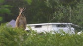 kanguru : Kangaroo on a camping site in Australia