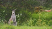 barbaric : Kangaroo on alert on its back legs in Australia