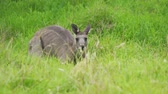 Eastern grey kangaroo Macropodidae hiding in the grass in Australia Dostupné videozáznamy