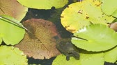 flor de loto : Kreffts short-necked turtle emydura krefftii walking on a lilypad in Australia