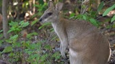 kanguru : Close up shot of a Wallaby in Cape Hillsborough national park, Australia Stok Video