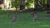 site : Wallabies rubbing their bellies in a camp site in Australia