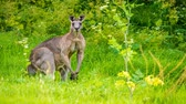 口 : Giant male kangaroo flexing its muscles with some grass in the mouth, zoom in