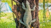 rod : Goanna monitor lizards of the genus Varanus, climbing a tree, zoom in