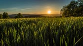 la provence : Sunset over green wheat fields, timelapse in the south of France in the summer.
