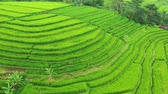 plodiny : Aerial view of rice terraces. Landscape with drone. Agricultural landscape from the air. Rice terraces in the summer. Jatiluwih rise terrace, Bali, Indonesia. Travel - video
