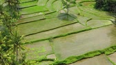 Aerial view of rice terraces. Landscape with drone. Agricultural landscape from the air. Rice terraces in the summer. Jatiluwih rise terrace, Bali, Indonesia. Travel - image