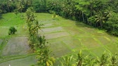 vista desde arriba : Aerial view of rice terraces. Landscape with drone. Agricultural landscape from the air. Rice terraces in the summer.  Jatiluwih rise terrace, Bali, Indonesia. Travel - video