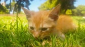 yerli : Cute baby cat portrait at a park against a beautiful background. Stok Video