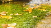 trawnik : Beautiful autumn scenery with tree leaves floating on a pond. Wideo