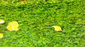 yards : Yellowish tree leaves of a deciduous tree floating on a pond.