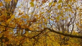 дуб : Deciduous tree in autumn season.