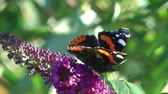 perfection : Red Admiral Butterfly Feeding On Buddleia