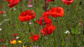 crescido : Beautiful Poppy Field, Red Poppies, Wild Poppy Flowers, Spring Blossom, Grass - close up 4k hd natural background