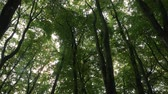 energy : Canopy of tall trees pan from below Stock Footage