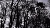 creepy : dark silhouette of tree tops - pan - black and white