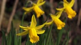 jonquil : Spring Flowers Daffodils Rack Focus Stock Footage
