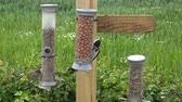 арахис : Great Spotted Woodpecker on a bird feeder (wide shot zoom to close up of feeder) - Midlands, England: June 2016