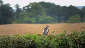 živý plot : lesser spotted woodpecker sitting on a hedge - Staffordshire, England: August 2016