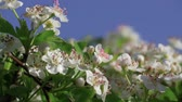 cherish : May flower on hawthorn hedge plant - Stafford, Midlands, England